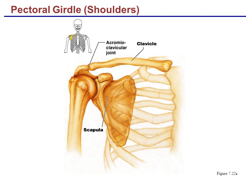 Pectoral Girdle (Shoulders)
