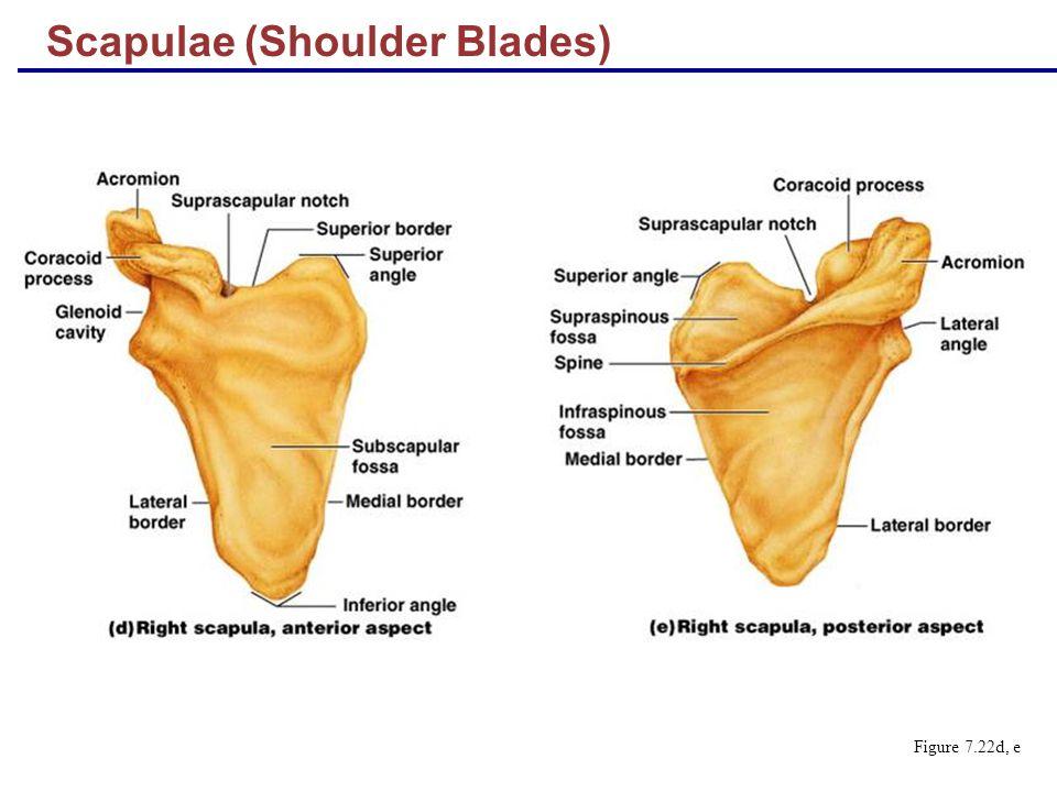 Scapulae (Shoulder Blades)