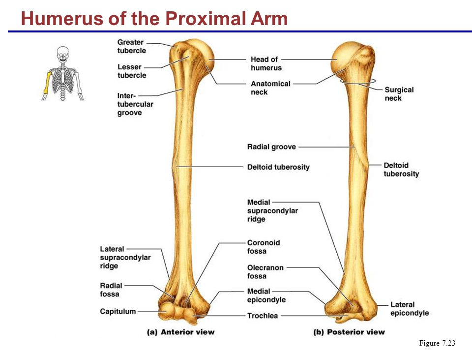 Humerus of the Proximal Arm