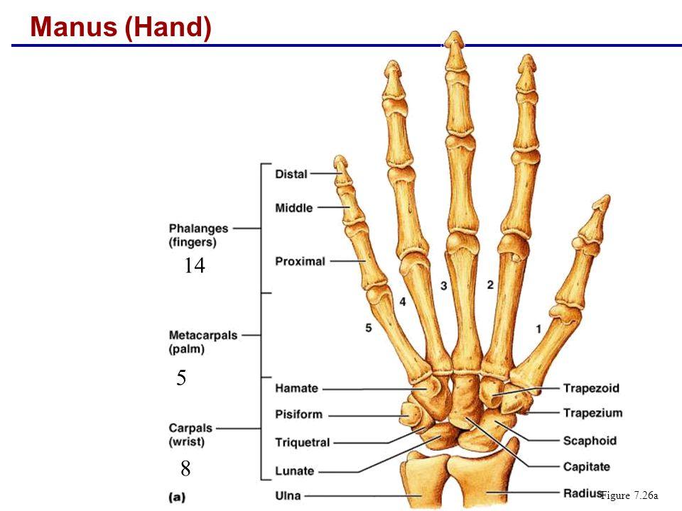 Manus (Hand) 14 5 8 Figure 7.26a