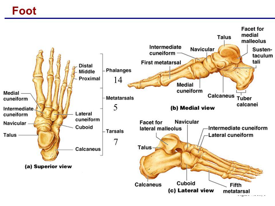 Foot 14 5 7 Figure 7.31b, c
