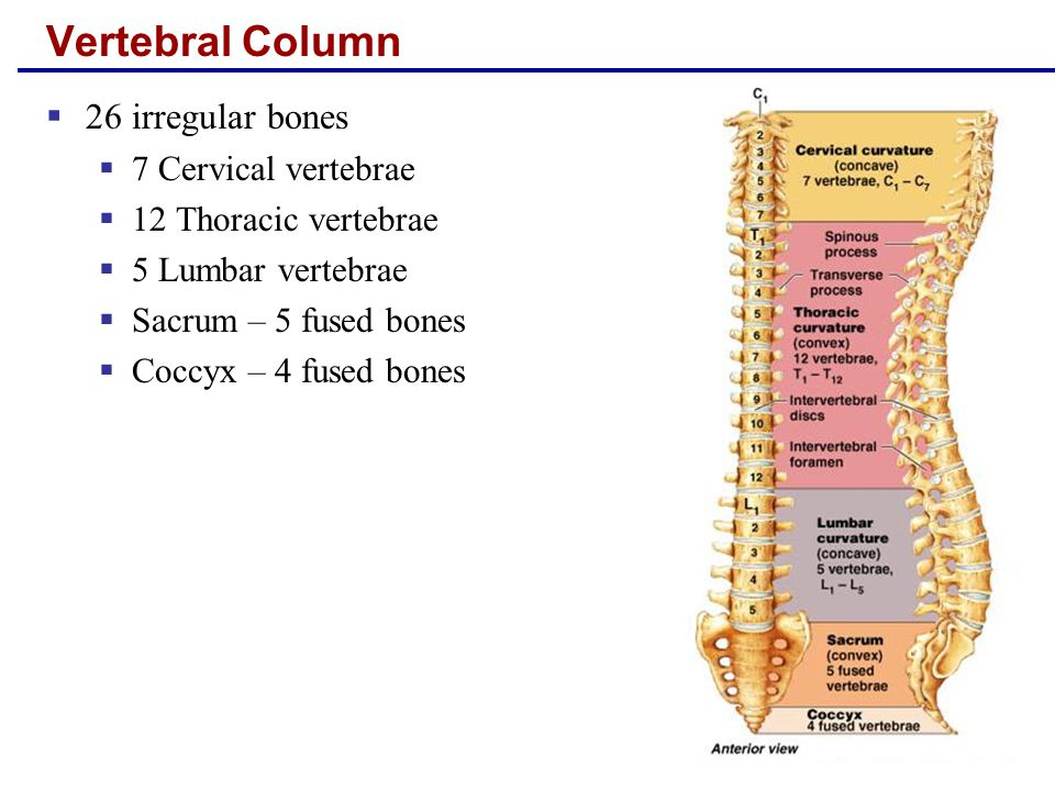 Vertebral Column 26 irregular bones 7 Cervical vertebrae