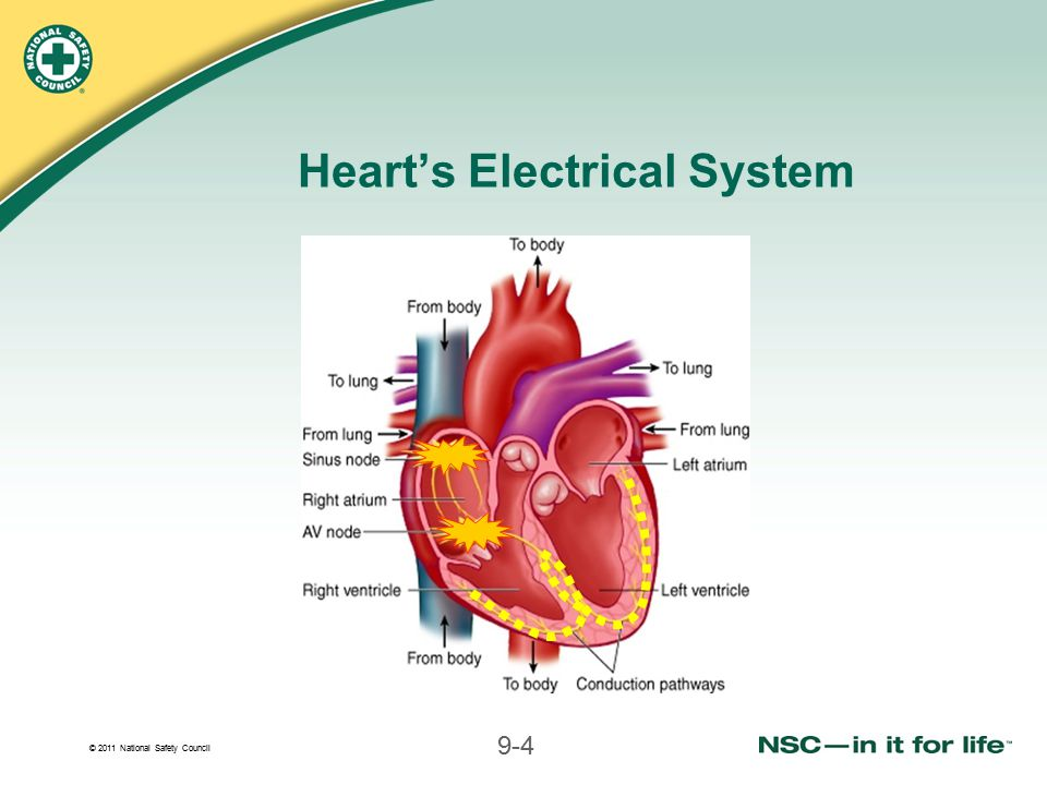 Heart's Electrical System