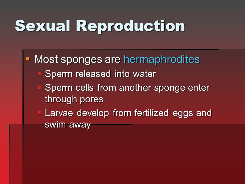 Sexual Reproduction Most sponges are hermaphrodites
