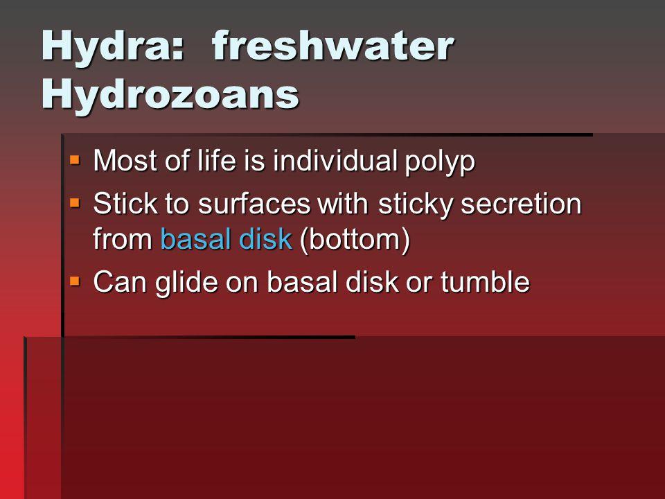Hydra: freshwater Hydrozoans