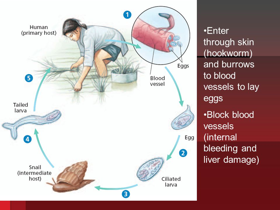 Enter through skin (hookworm) and burrows to blood vessels to lay eggs
