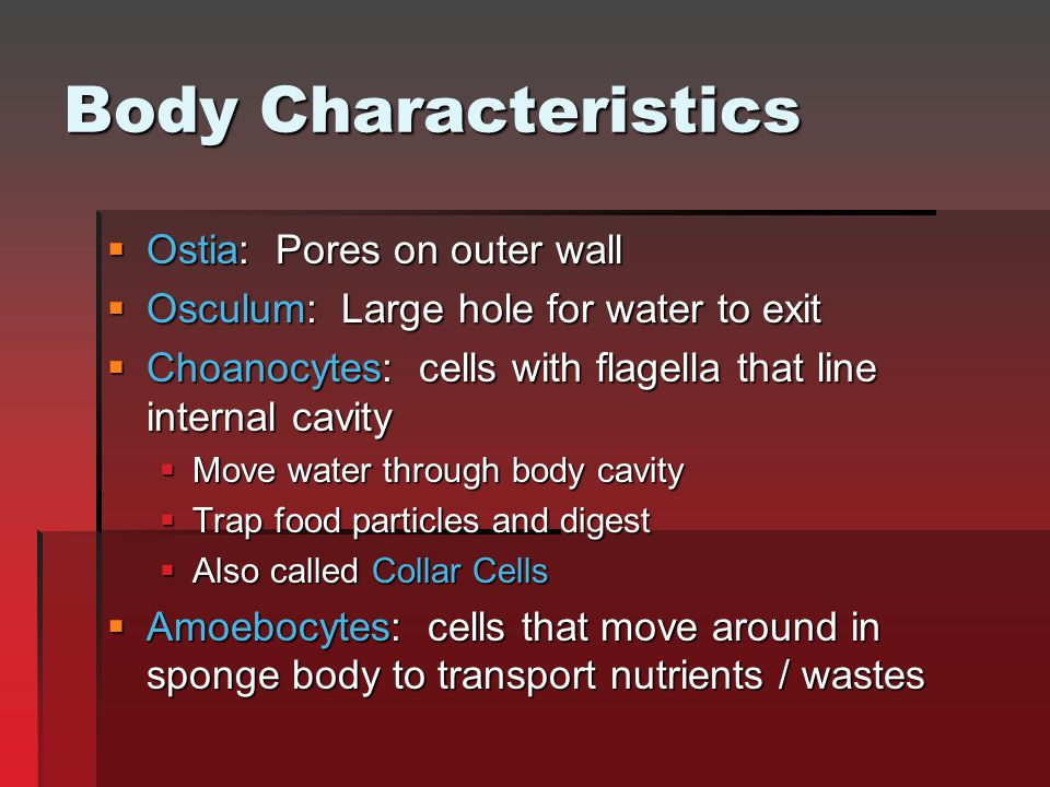 Body Characteristics Ostia: Pores on outer wall