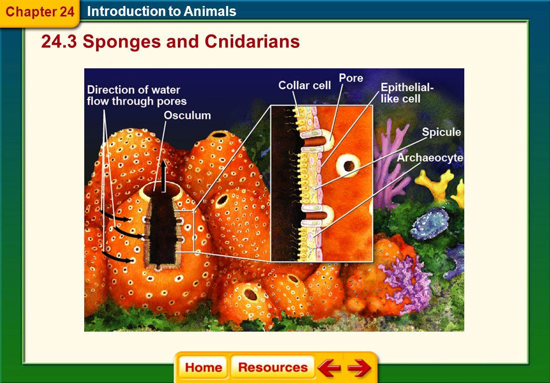 24.3 Sponges and Cnidarians