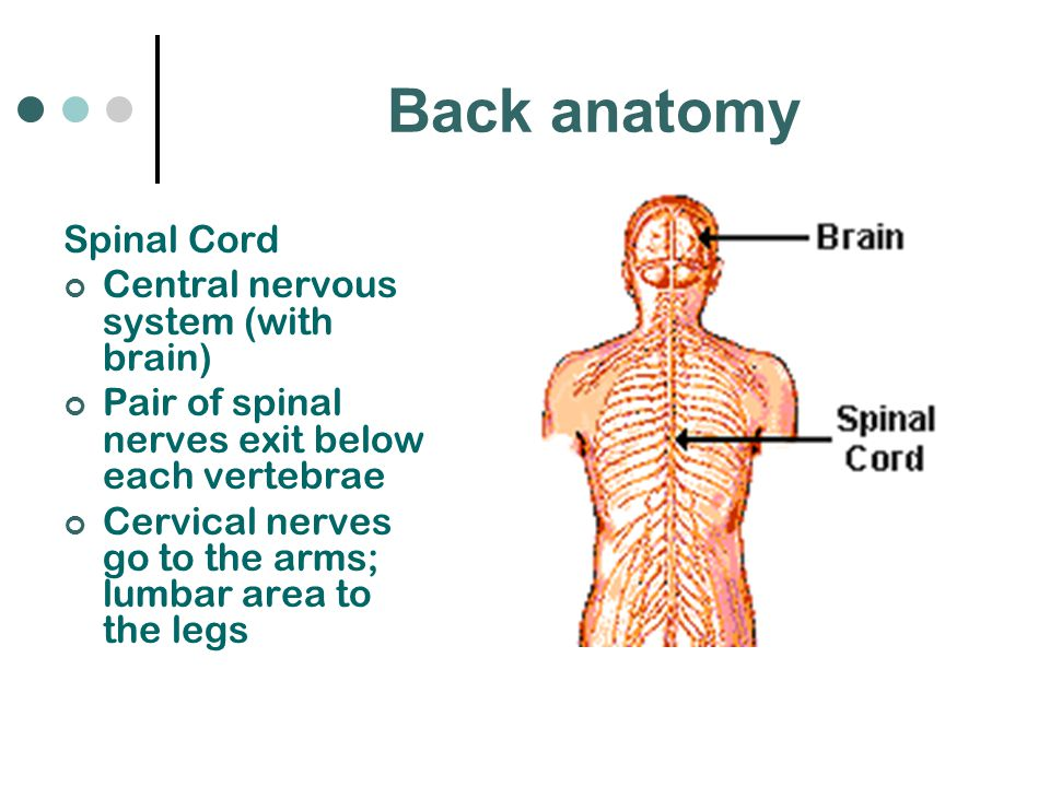 Back anatomy Spinal Cord Central nervous system (with brain)
