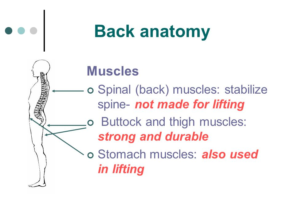 Back anatomy Muscles. Spinal (back) muscles: stabilize spine- not made for lifting. Buttock and thigh muscles: strong and durable.