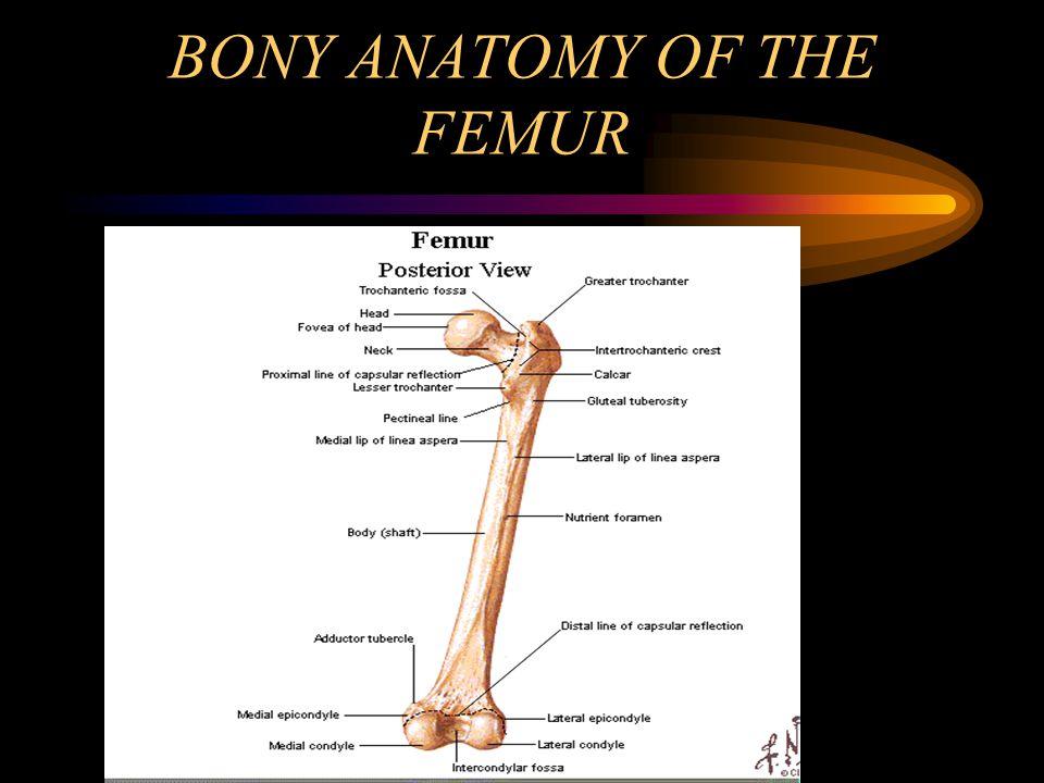 BONY ANATOMY OF THE FEMUR