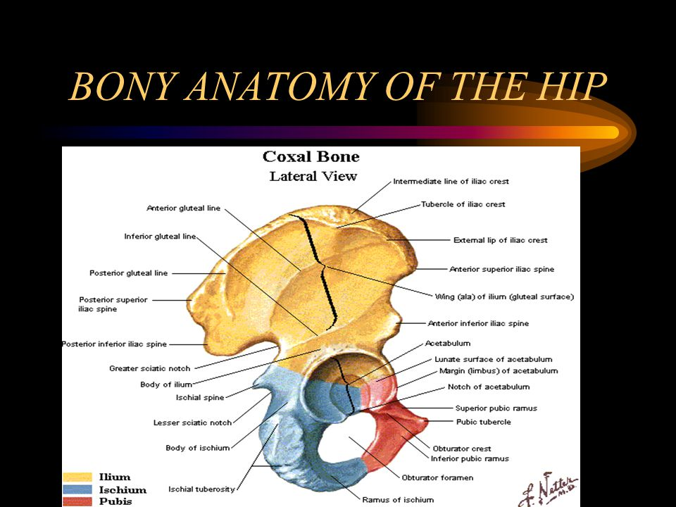 BONY ANATOMY OF THE HIP