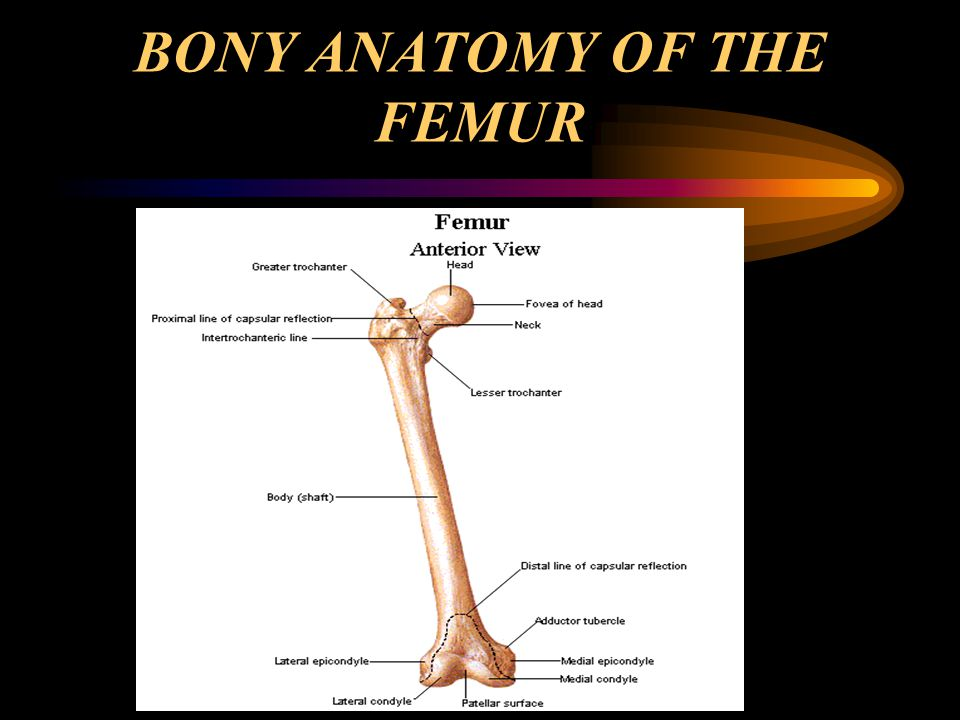 BONY ANATOMY OF THE FEMUR
