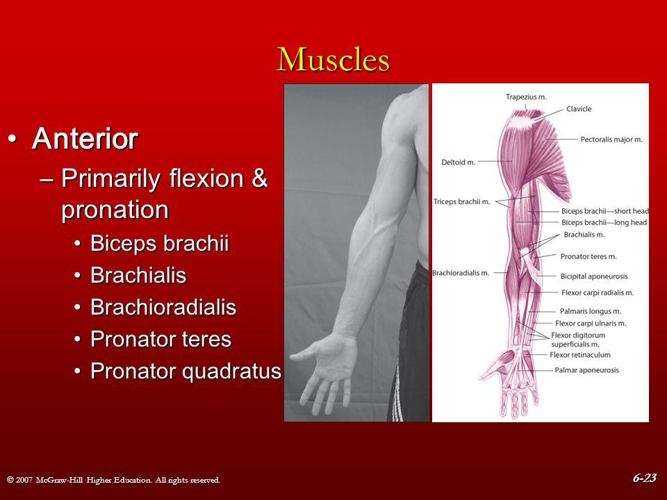 Muscles Anterior Primarily flexion & pronation Biceps brachii