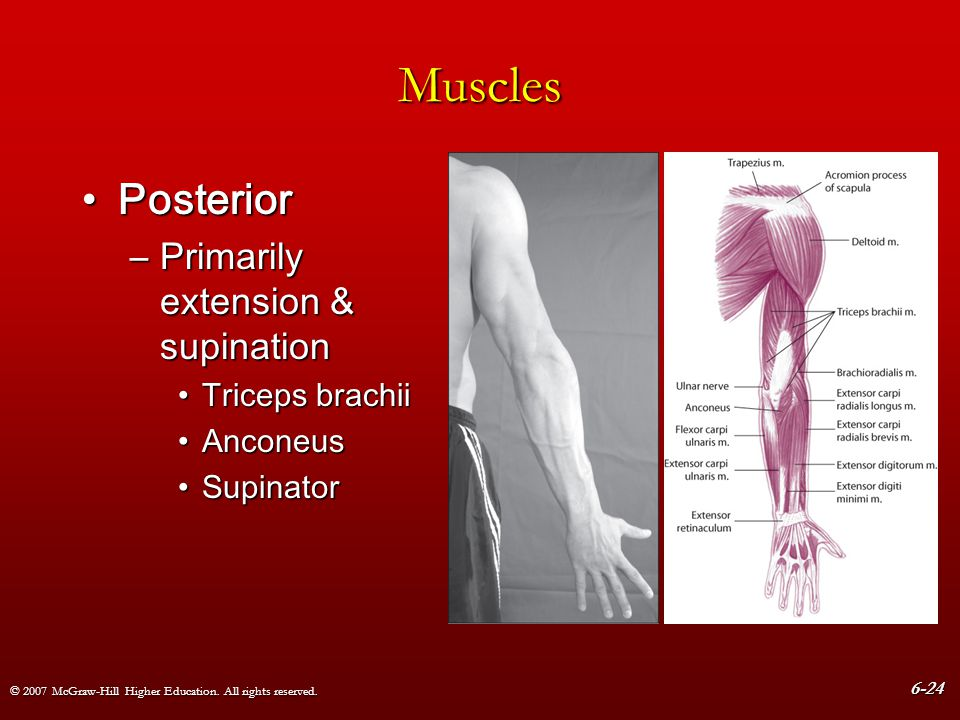 Muscles Posterior Primarily extension & supination Triceps brachii