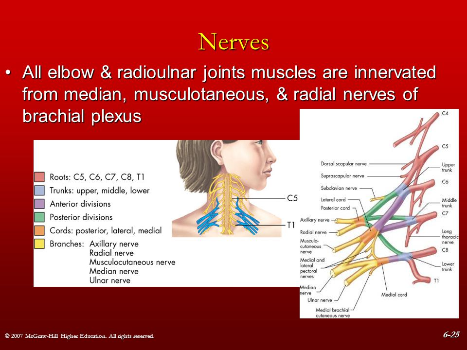 Nerves All elbow & radioulnar joints muscles are innervated from median, musculotaneous, & radial nerves of brachial plexus.