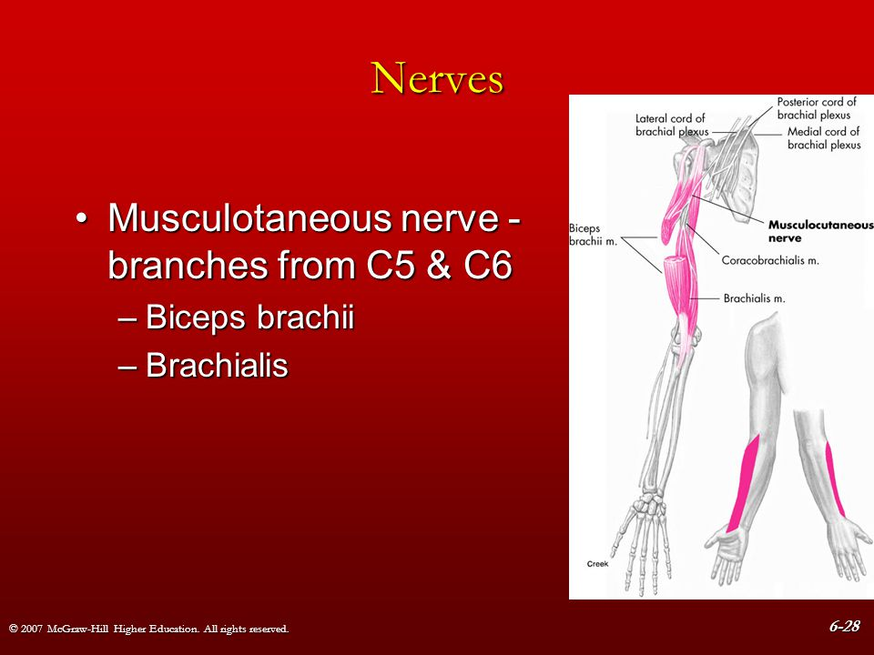 Nerves Musculotaneous nerve - branches from C5 & C6 Biceps brachii