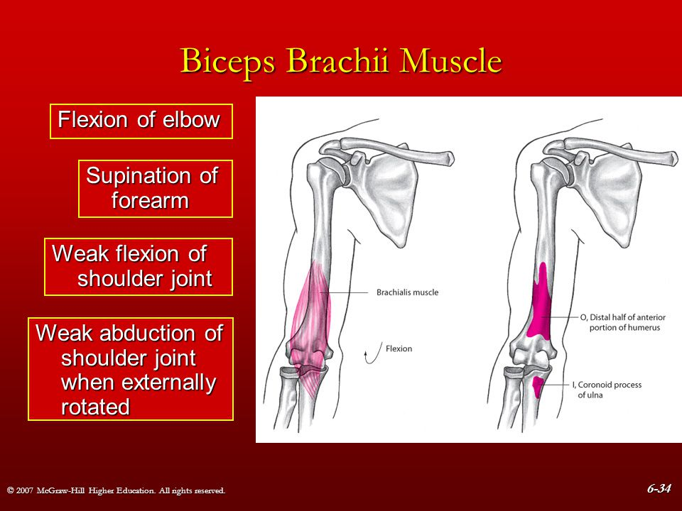Biceps Brachii Muscle Flexion of elbow Supination of forearm