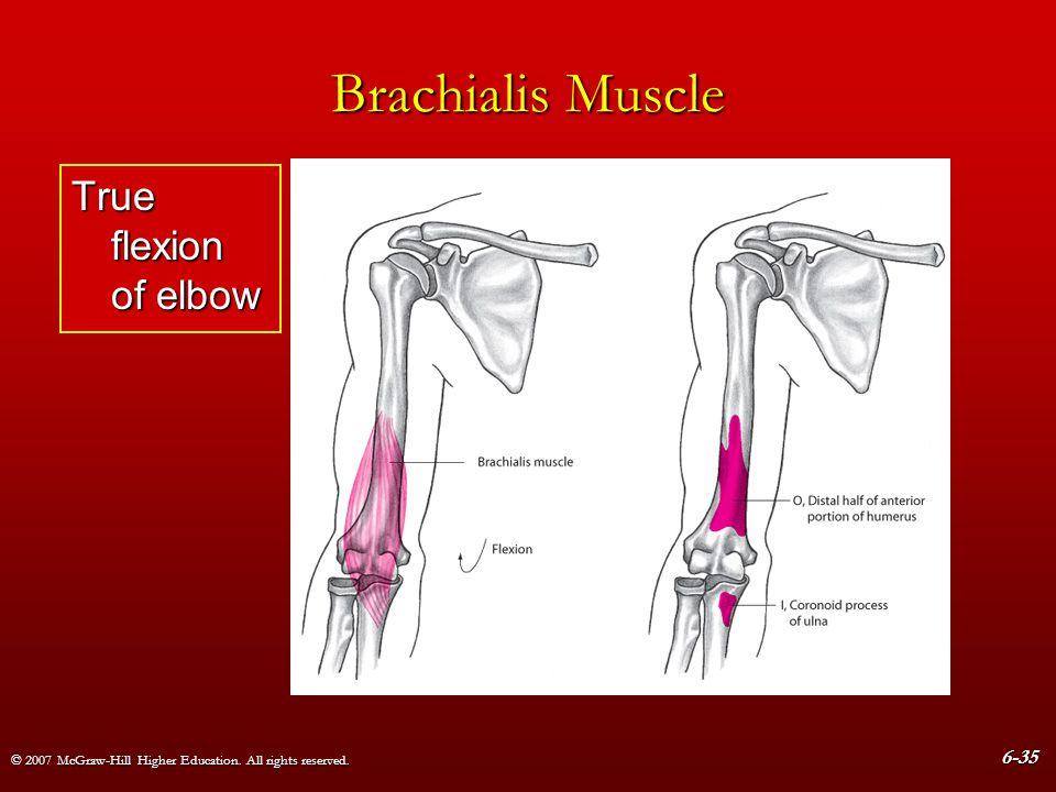 Brachialis Muscle True flexion of elbow