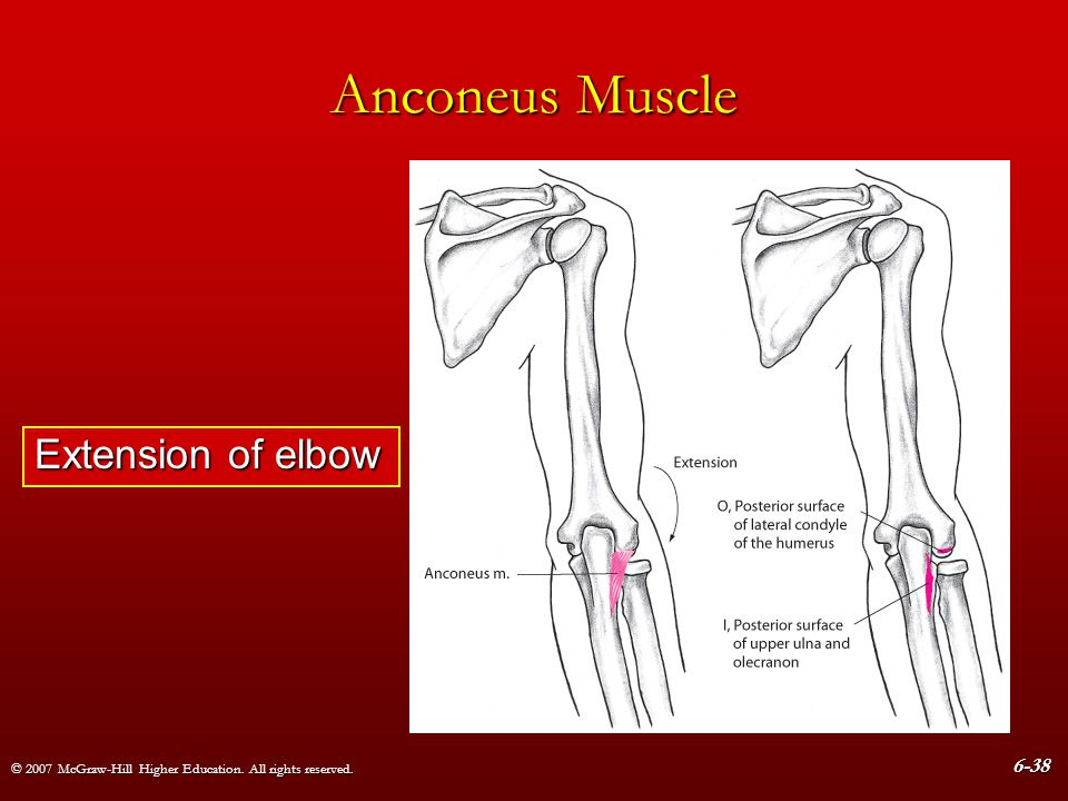 Anconeus Muscle Extension of elbow