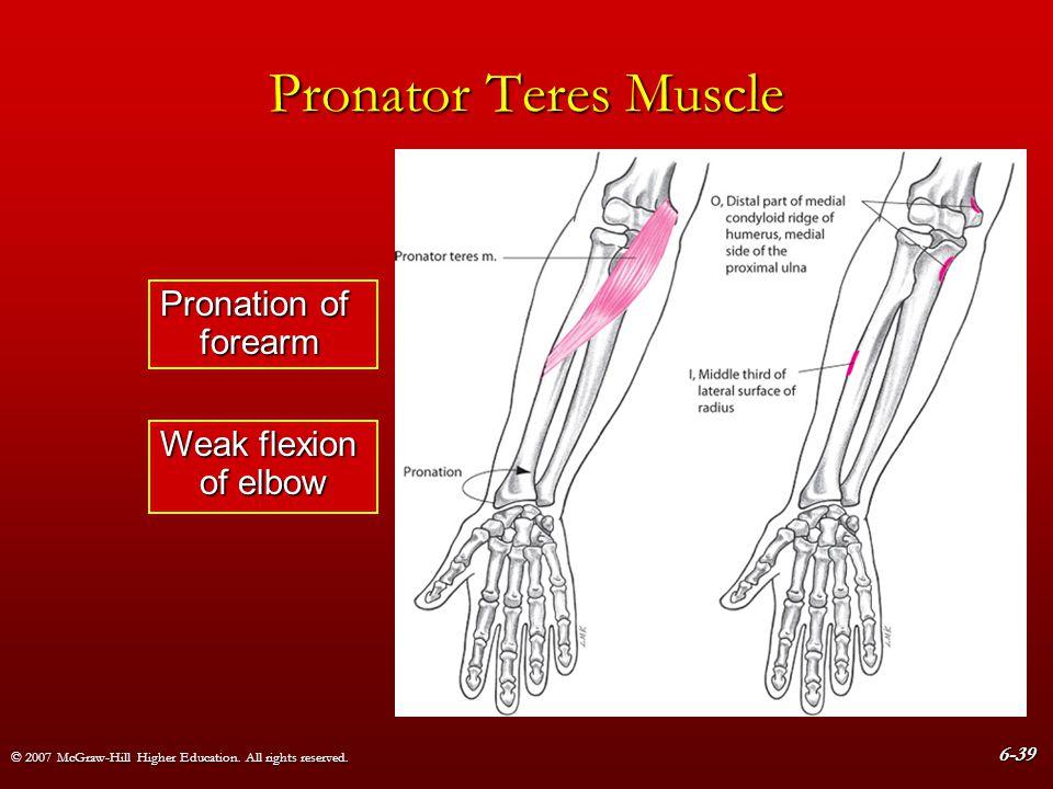 Pronator Teres Muscle Pronation of forearm Weak flexion of elbow