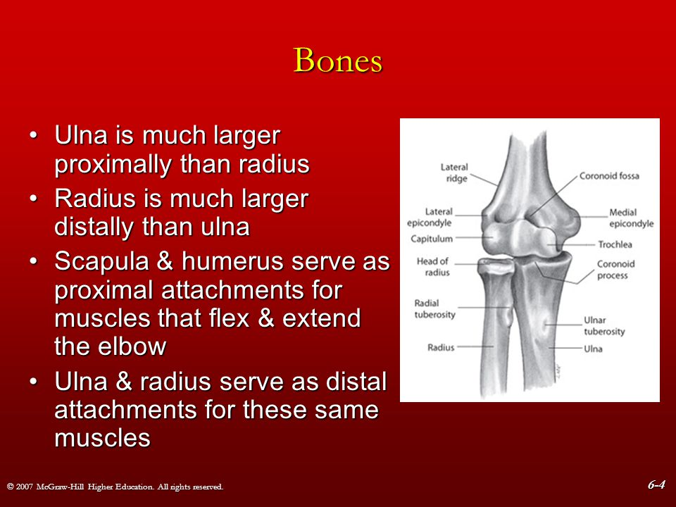 Bones Ulna is much larger proximally than radius