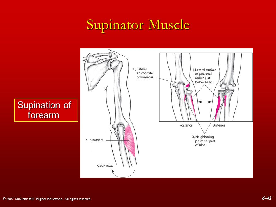 Supinator Muscle Supination of forearm