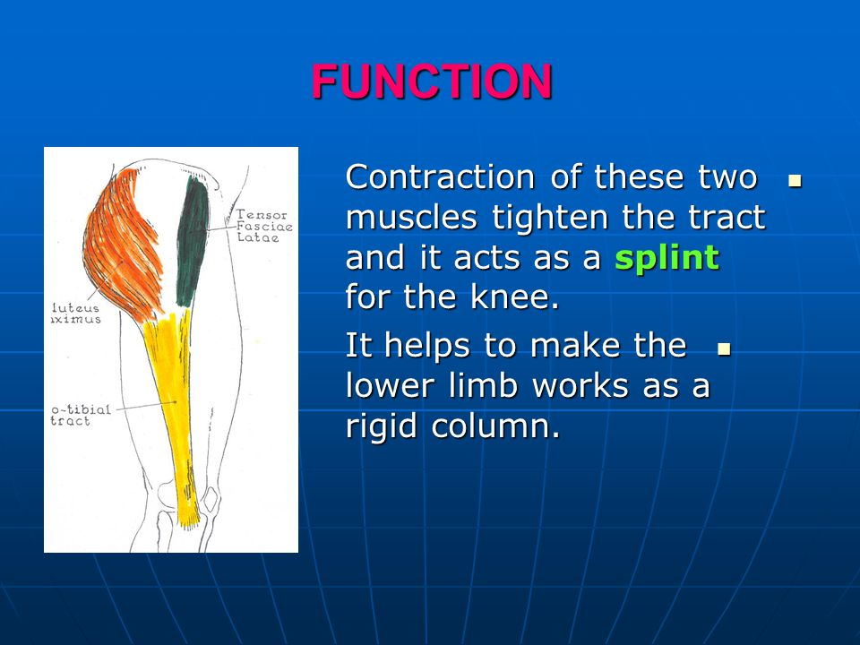 FUNCTION Contraction of these two muscles tighten the tract and it acts as a splint for the knee.