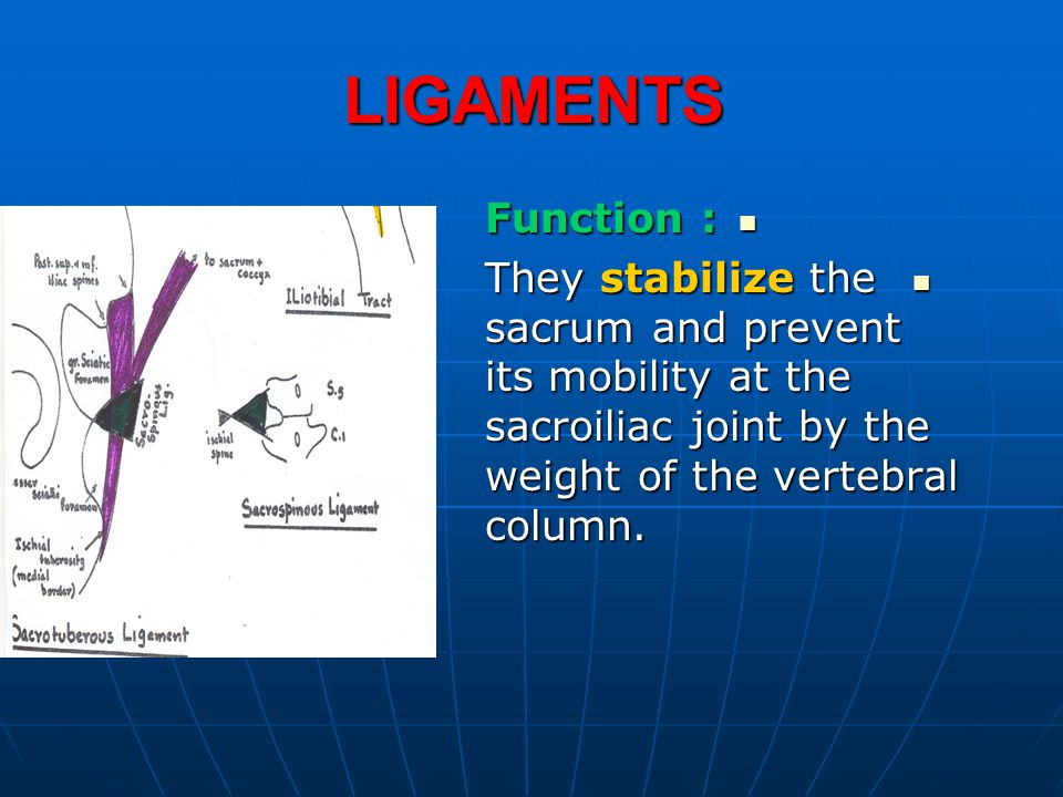 LIGAMENTS Function : They stabilize the sacrum and prevent its mobility at the sacroiliac joint by the weight of the vertebral column.
