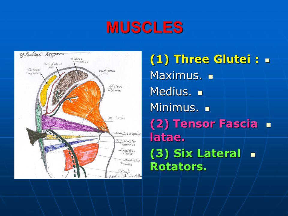 MUSCLES (1) Three Glutei : Maximus. Medius. Minimus.