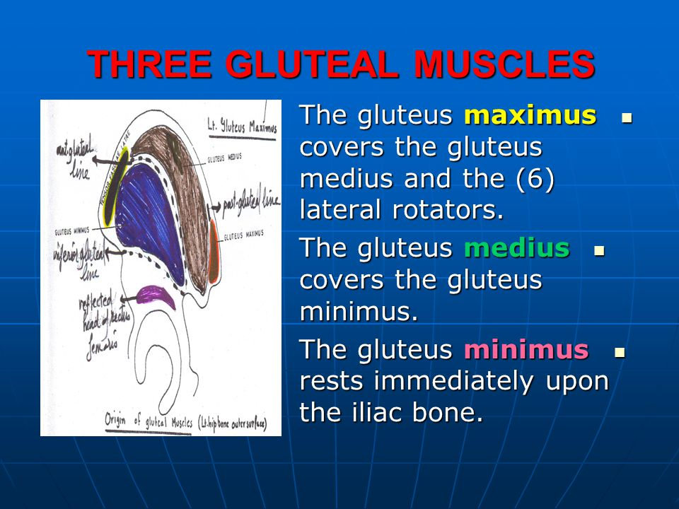 THREE GLUTEAL MUSCLES The gluteus maximus covers the gluteus medius and the (6) lateral rotators. The gluteus medius covers the gluteus minimus.