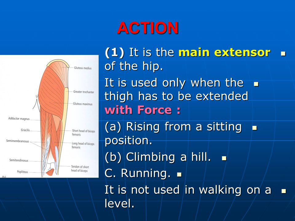 ACTION (1) It is the main extensor of the hip.