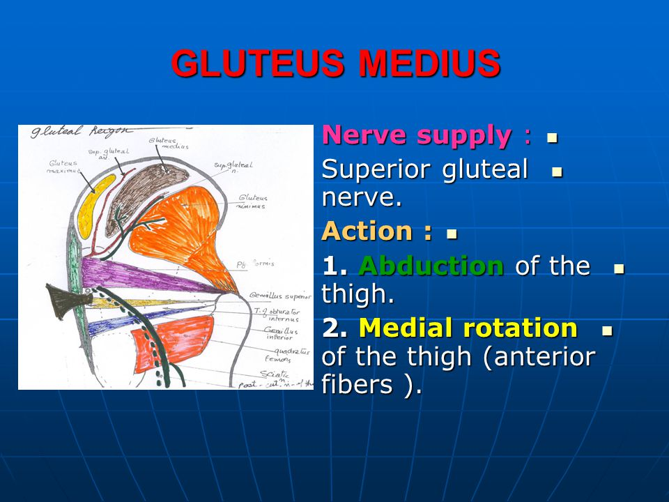 GLUTEUS MEDIUS Nerve supply : Superior gluteal nerve. Action :