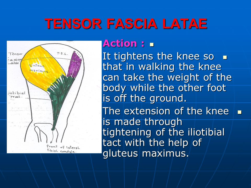 TENSOR FASCIA LATAE Action :