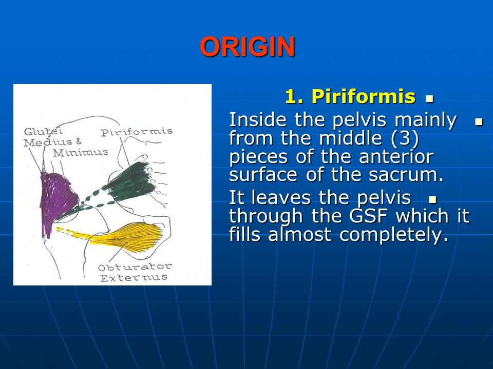 ORIGIN 1. Piriformis. Inside the pelvis mainly from the middle (3) pieces of the anterior surface of the sacrum.