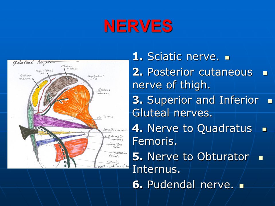 NERVES 1. Sciatic nerve. 2. Posterior cutaneous nerve of thigh.