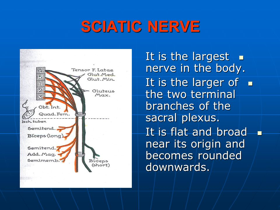 SCIATIC NERVE It is the largest nerve in the body.