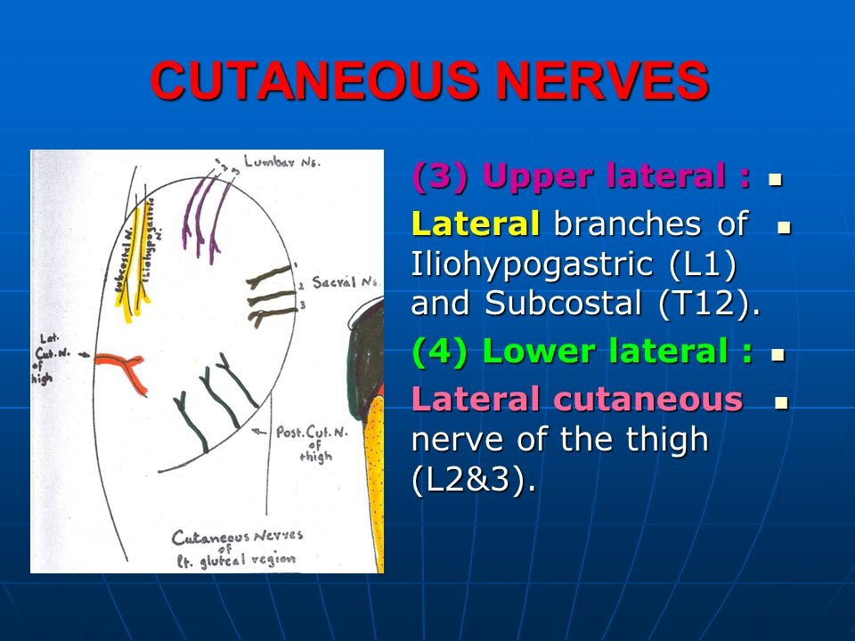 CUTANEOUS NERVES (3) Upper lateral :