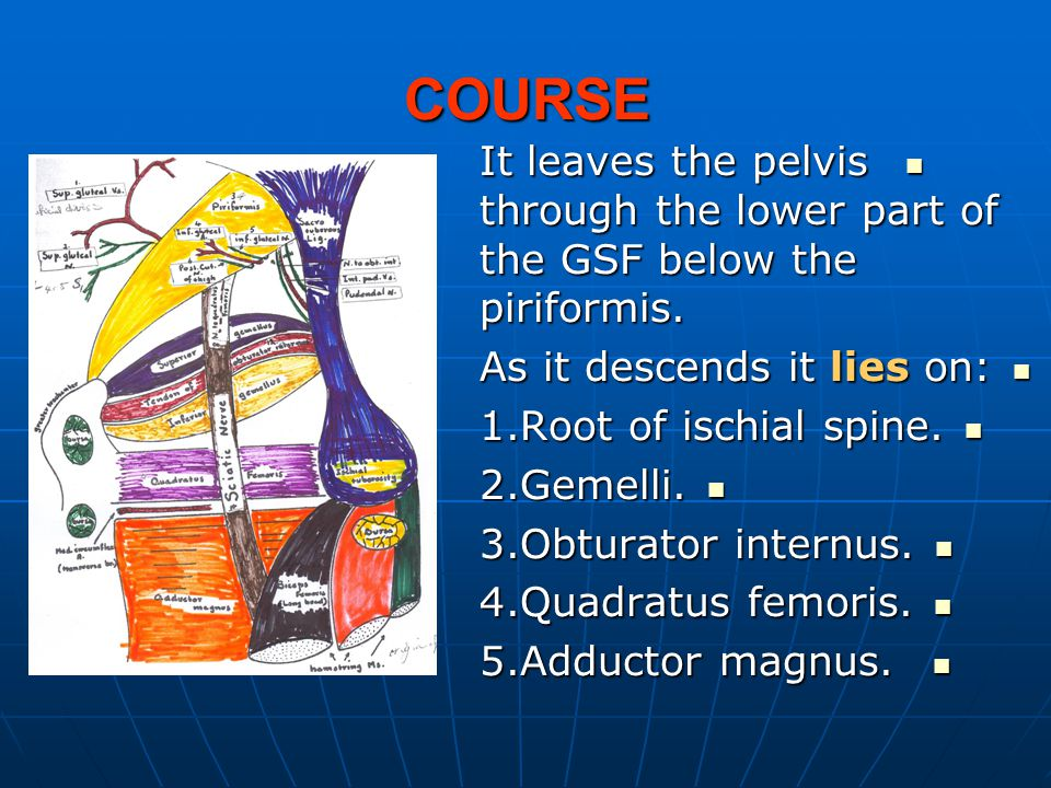 COURSE It leaves the pelvis through the lower part of the GSF below the piriformis. As it descends it lies on: