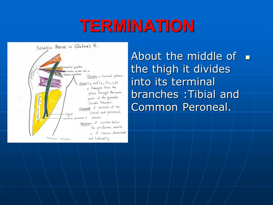 TERMINATION About the middle of the thigh it divides into its terminal branches :Tibial and Common Peroneal.