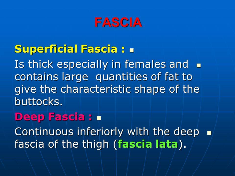 FASCIA Superficial Fascia :