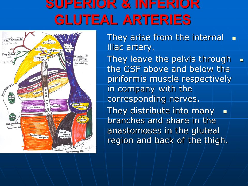 SUPERIOR & INFERIOR GLUTEAL ARTERIES