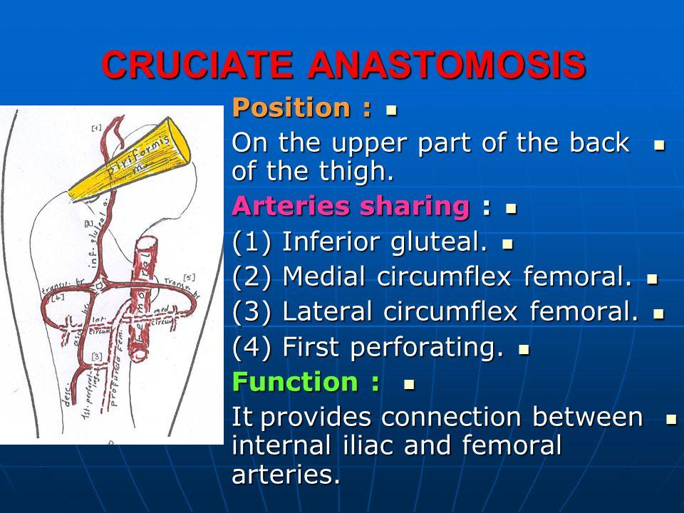 CRUCIATE ANASTOMOSIS Position :