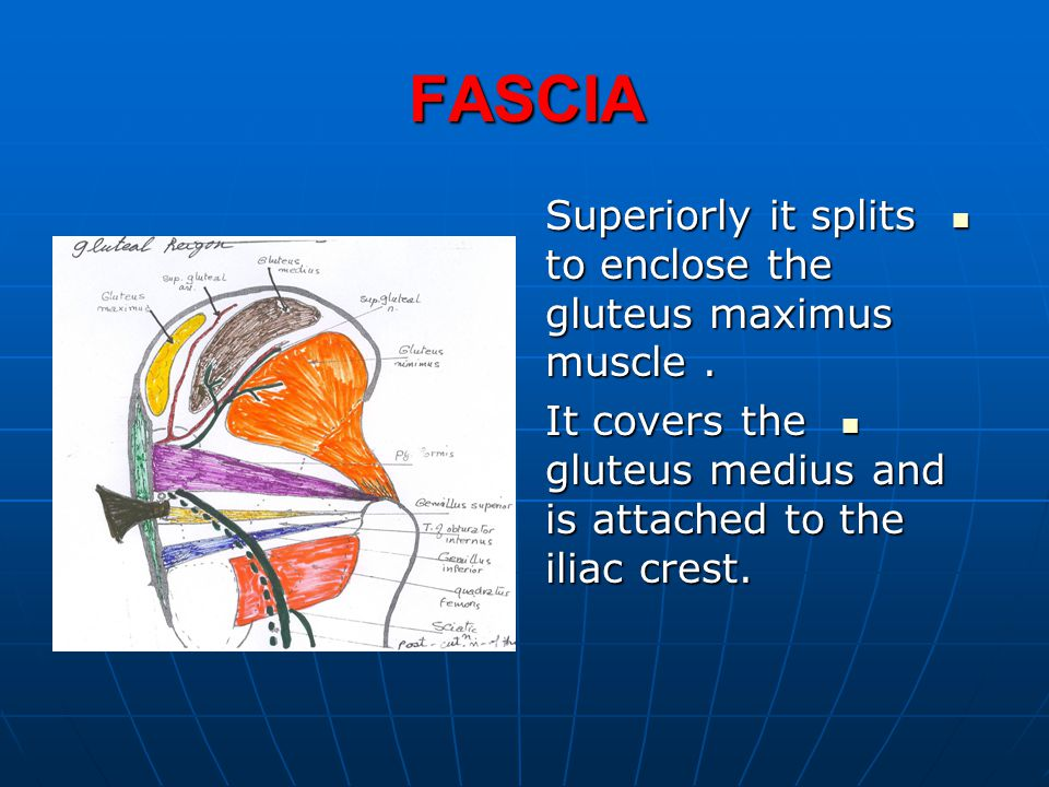 FASCIA Superiorly it splits to enclose the gluteus maximus muscle .