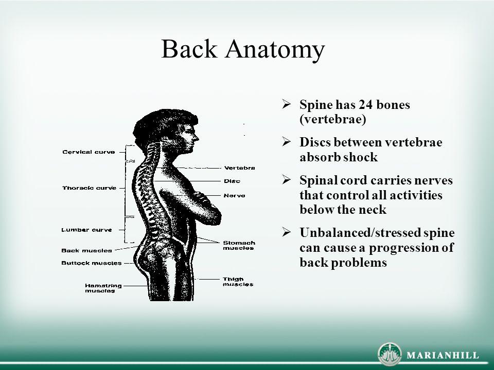 Back Anatomy Spine has 24 bones (vertebrae)