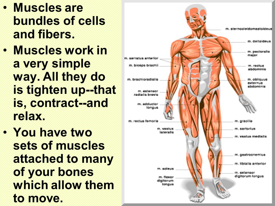 Muscles are bundles of cells and fibers.