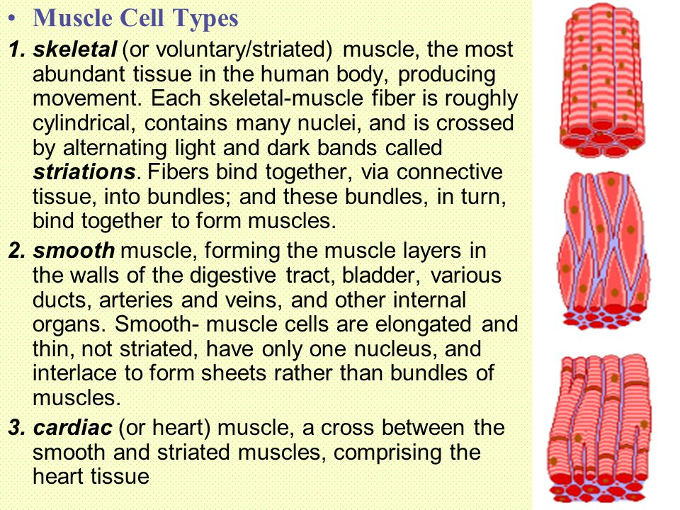 Muscle Cell Types