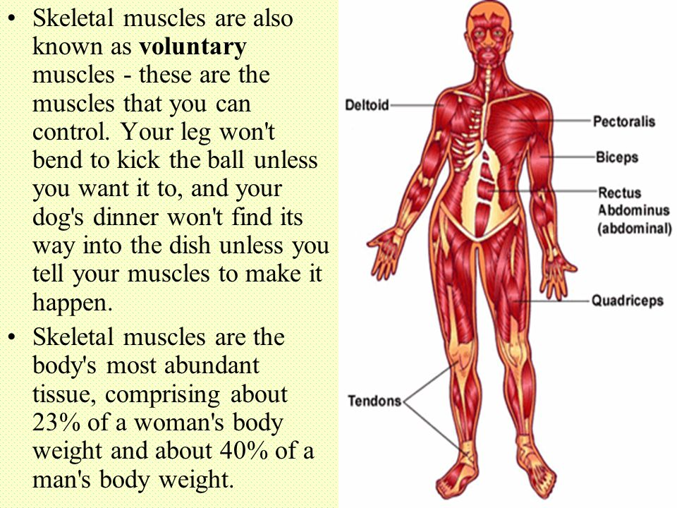 Skeletal muscles are also known as voluntary muscles - these are the muscles that you can control. Your leg won t bend to kick the ball unless you want it to, and your dog s dinner won t find its way into the dish unless you tell your muscles to make it happen.