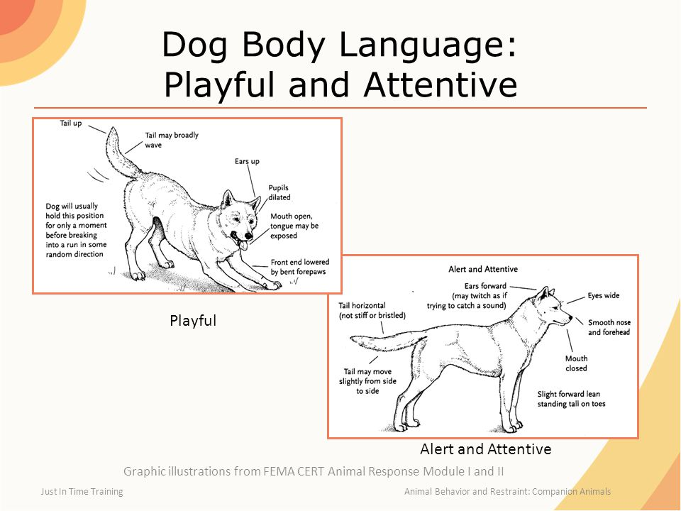 Dog Body Language: Playful and Attentive
