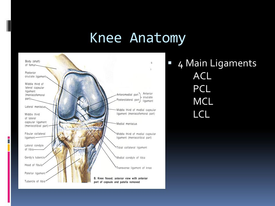 Knee Anatomy 4 Main Ligaments ACL PCL MCL LCL